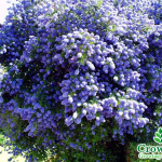 large_1_hl11764_ceanothus_a_t_johnson_or_california_lilac_shrub